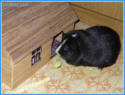 Какие игрушки можно морским свинкам